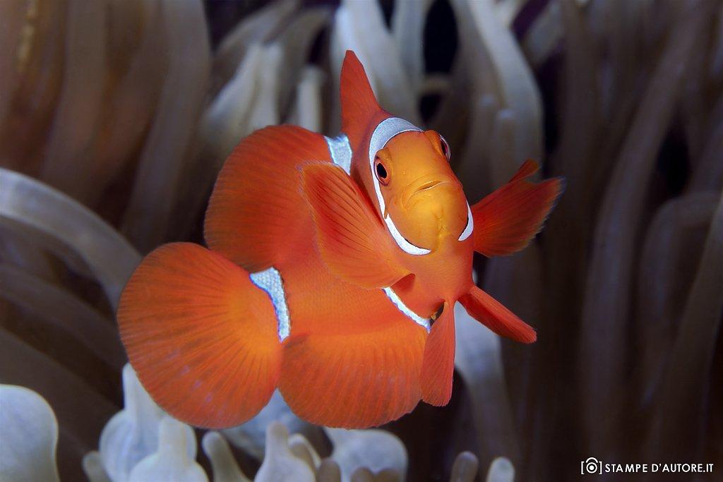"""""""Baby Clown fish"""